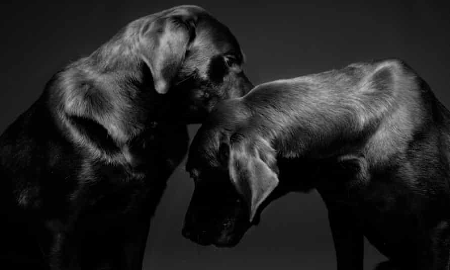 A portrait of two black labradors.