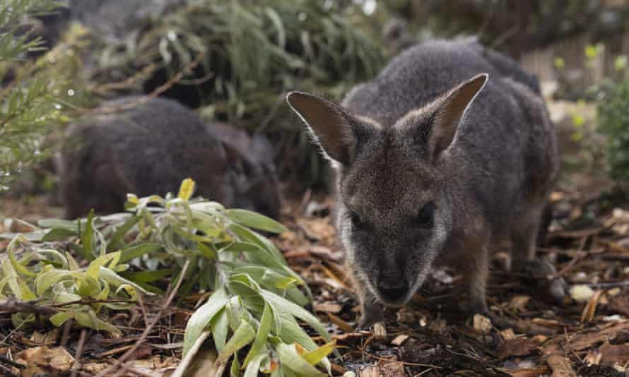 A long-nosed potoroo