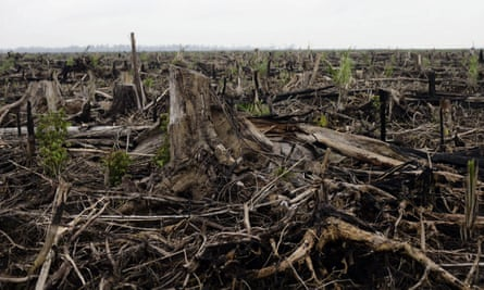 Regenerated palm oil trees are seen growing on the site of a destroyed tropical rainforest in Kuala Cenaku, Riau province, as deforestation continues in Sumatra, Indonesia.