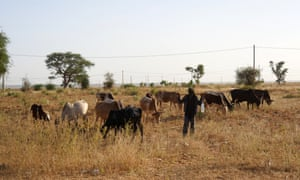 A herdsman and his cattle on the way to Tillaberi.