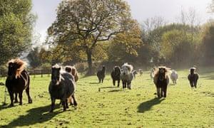Ponies running over grassland at the Miniature Pony Centre in Dartmoor, Devon, UK.