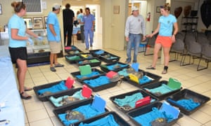 Staff members at the Turtle Hospital in the Florida Keys tend to some of a group of 32 cold-stunned Kemp's ridley sea turtles rescued off Cape Cod, Massachusetts. They will be released in the warmer waters off Florida once they are healthy.