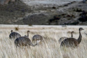 Rheas in long grass