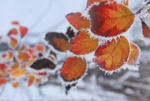 Leaves of a tree covered with ice crystals during heavy snowfall in Tunceli, Turkey.