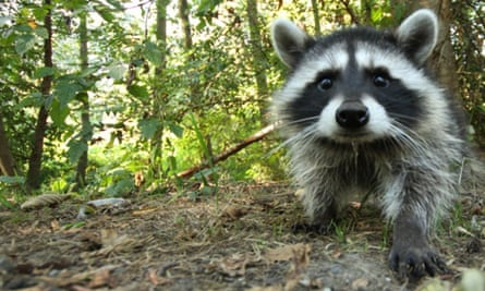 A raccoon ... or is it a racoon?
