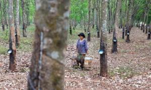 Plantação de borracha de Chup em Kampong Cham, Camboja.