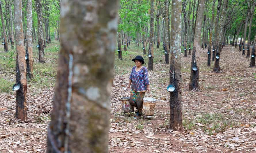 Chup Rubber Plantation in Kampong Cham, Cambodia.