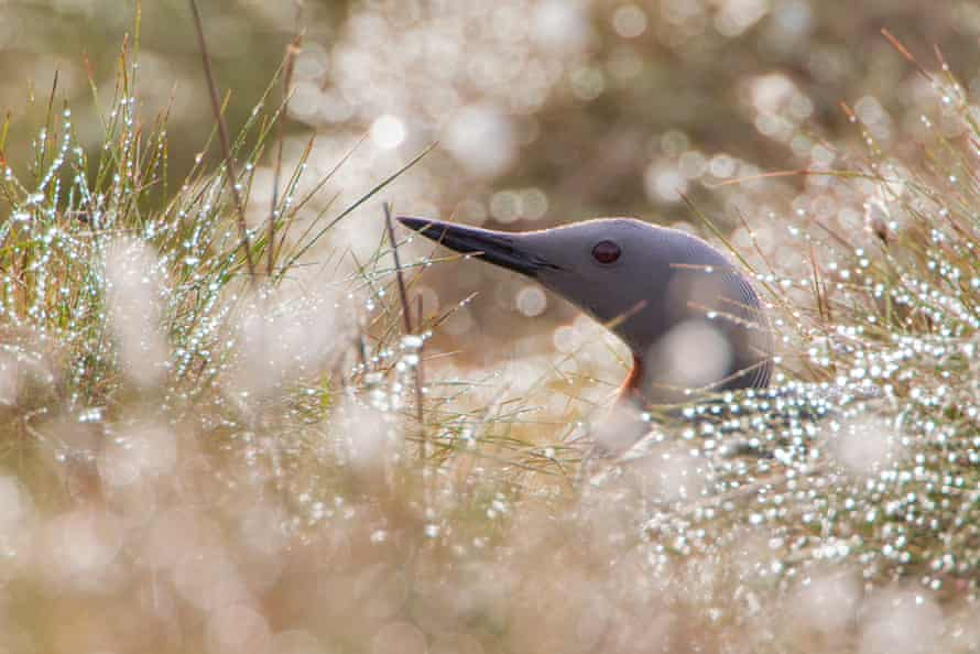 A red-throated diver sits on a nest amidst the dew-covered vegetation.