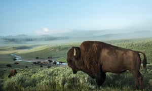 Yellowstone national park, and its bison, are under the stewardship of the public servants of the National Park Service.