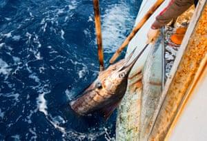A marlin is hauled on board Shuen De Ching No. 888
