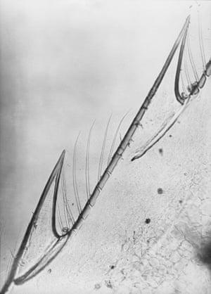 Close-up of a shrimp, 1929