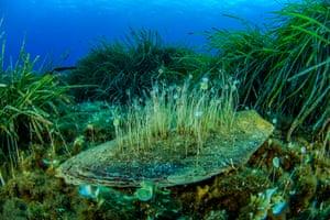 Unicellular green algae on a dead pen shell in Neptune-grass, Salina, Aeolian Islands, Sicily.