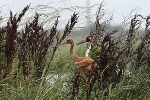 An adult whooping crane, a critically endangered species, walks on a levee between crawfish ponds with a recently born chick, Jefferson Davis Parish, Louisiana, USA.