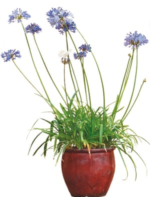 Photograph of agapanthus in a pot