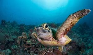 Curious juvenile green sea turtle.