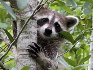 Raccoon In A Nearby ParkMartin County, Florida Photograph: J Kearman/GuardianWitness