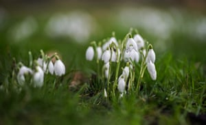 Snowdrops flowering in Victoria Tower Gardens, in front of the Houses of Parliament in central London, UK
