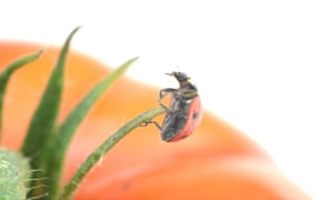 A ladybird on a tomato plant.