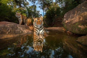 A camera trap captures 14-month-old sibling cubs cooling off in a watering hole in India's Bandhavgarh national park