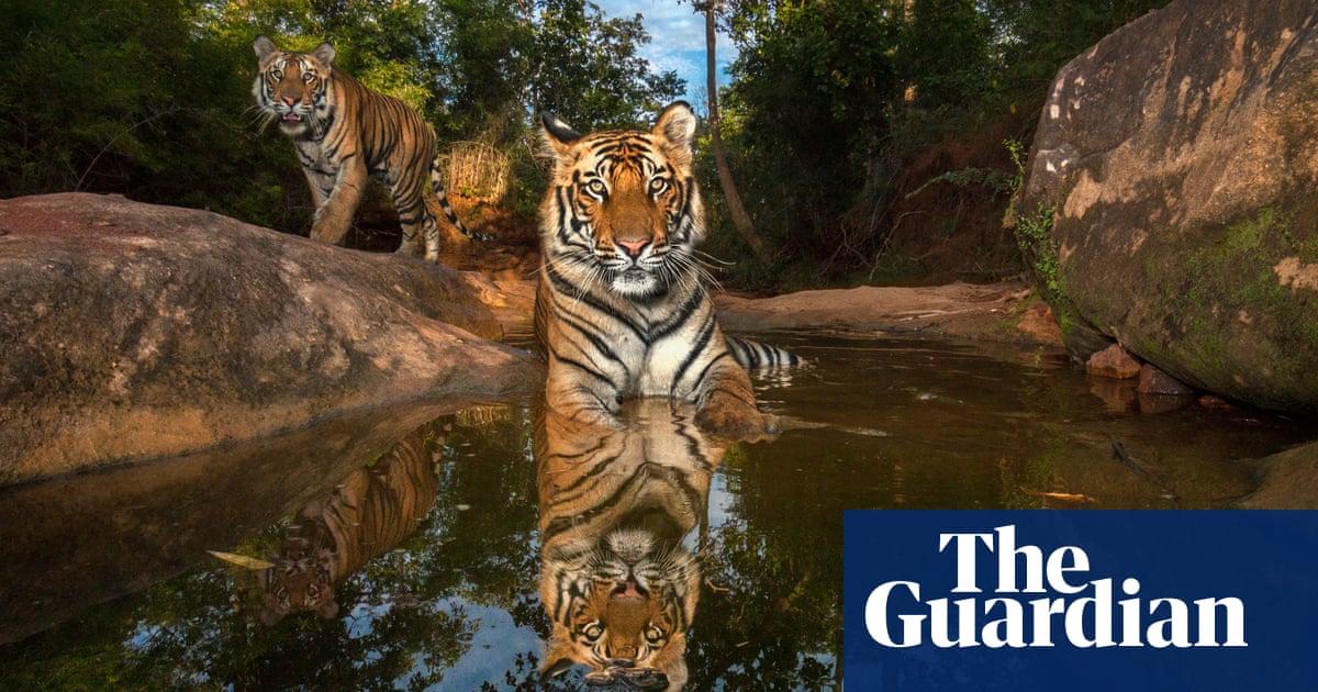 White Tiger | The Biggest Animals Kingdom  |Biggest White Tiger In The World