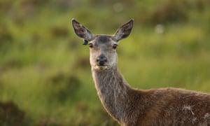 Red deer Scotland