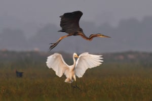 A purple heron flies over a little egret at the Mangalajodi bird sanctuary in India