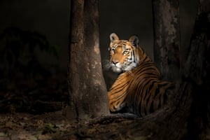 A Bengal tiger in the woods at Bandhavgarh national park, India