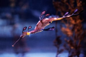 A common seadragon (Phyllopteryx taeniolatus) swims in a fishtank