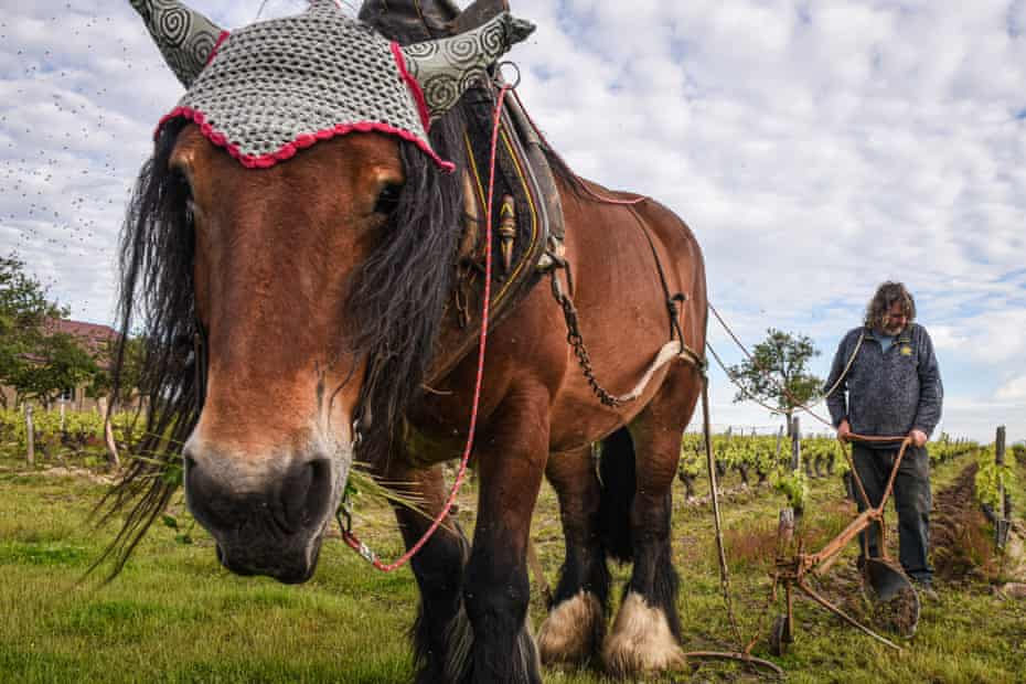 A horse weeding the vines in Tours, France