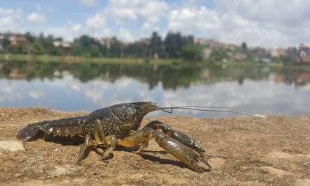 The marbled crayfish threatens to crowd out seven native species in Madagascar.
