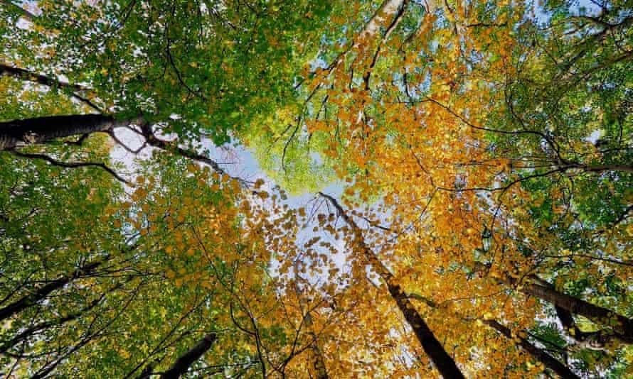 Wild cherry trees with wild service tree understory on Wenlock Edge