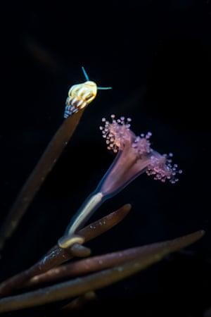 Coast and marine England category: Stalked Jellyfish and Rissoa Snail, taken in Kimmeridge Bay, Dorset by Paul Pettitt from Royston, Hertfordshire