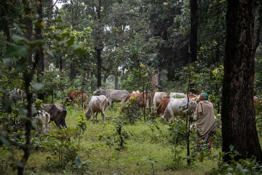 As well as relying on the forest's plants for food, medicine and construction materials, villagers also rely on the forest floor for grazing cattle.
