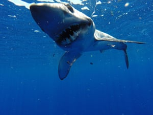 Longfin mako (Isurus paucus) - currently found in the mid-Atlantic, northern Spain, Indian Ocean, Pacific Ocean.
