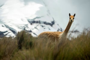 A vicuna roams the foothills of the Chimborazo volcano in Ecuador's central Andes