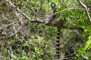 Madagascar: A ring-tailed lemur. T