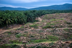 Elephants walk through a palm oil plantation eating the trunks of felled trees in Sabah, Borneo