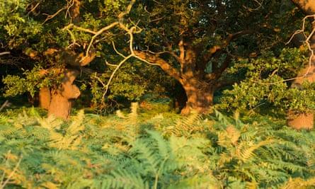 Ancient Oaks at Staverton Thicks