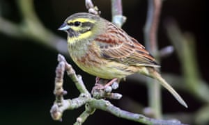 The Cirl Bunting. During the 1980s, its numbers slumped to 118 pairs, and the decline prompted English Nature and the Royal Society for the Protection of Birds (RSPB) to launch a scheme to save the species.