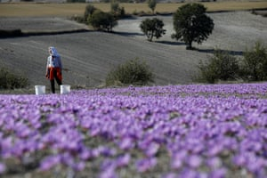 Evangelia Patsioura pauses as she harvests saffron flowers at her family's field in Krokos, Greece