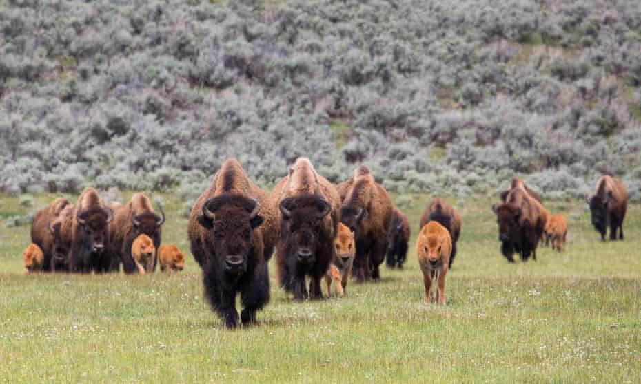 Bison herd with calves in Lamar Valley, Yellowstone park.