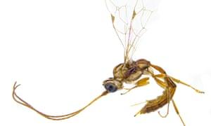 The Lusius Malfoyi wasp