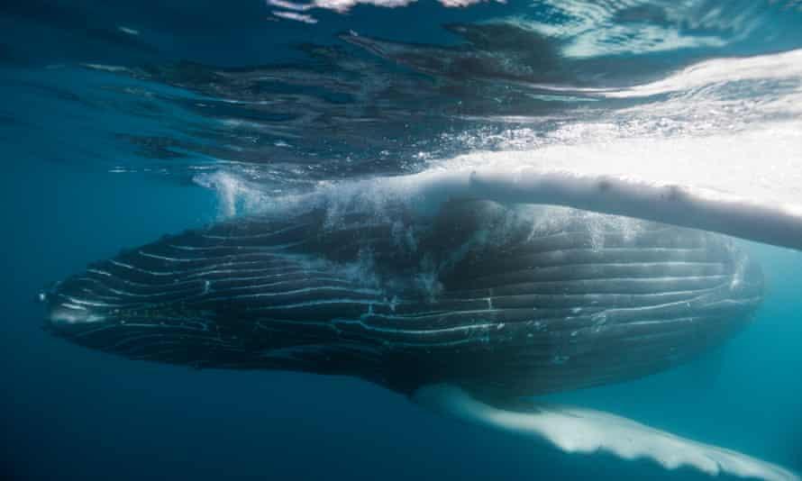 A humpback whale off Socorro Island, Revillagigedo archipelago