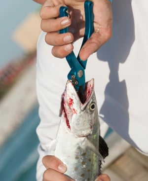 An angler using pliers to remove hook from a mackerel.