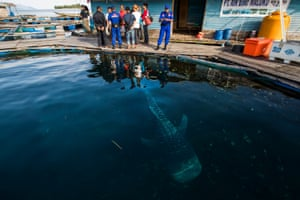 A whale shark, which is an endangered species, held in a sea pen. Police said the trader was planning to sell it illegally to ocean theme park owners in China.