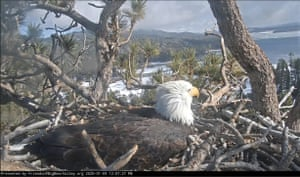 A bald eagle in Southern California sits on her egg on the Friends of Big Bear Valley