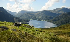 Herdwick sheep in the Lake District, August 2020