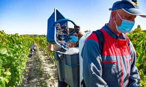 Farm workers harvest grapes at Chateau Grand Corbin-Despagne vineyard in Saint-Emilion near Bordeaux, France, 10 September 2020. The vineyard has implemented strict sanitary measures to curb the spread of the coronavirus.