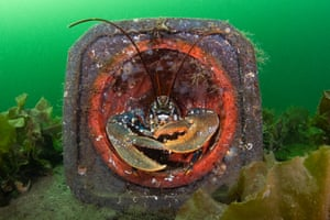 A common lobster (Homarus gammarus) shelters in a traffic cone