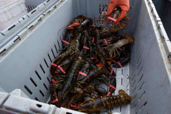 lobsters in a crate
